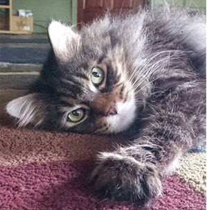 Maine Coon cat looking at camera