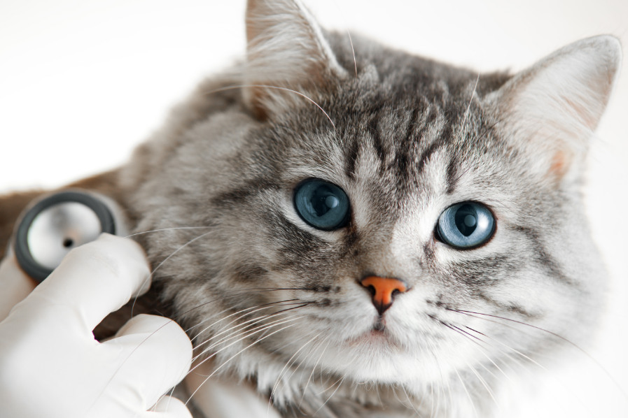 Cat being checked by a veterinarian