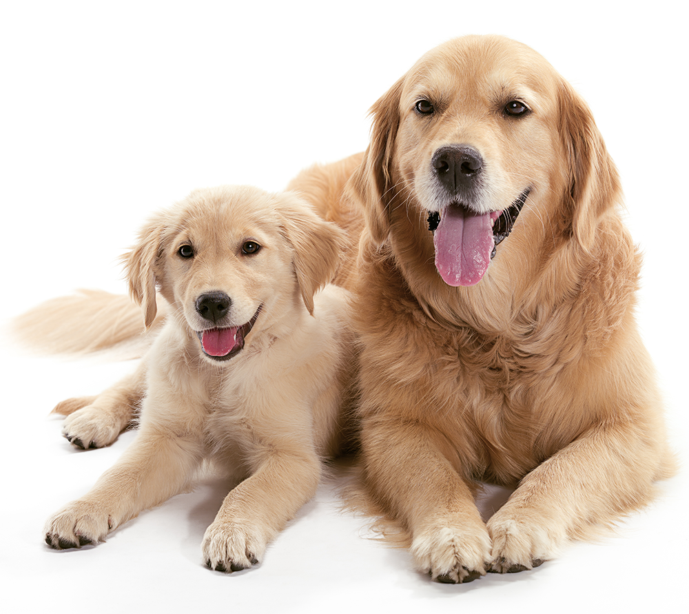 pair of golden retrievers